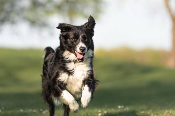 Border Collie - perro hermoso corre alegremente a través de un campo verde en primavera - foto de stock