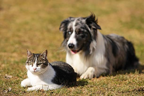 Border collie behind a cat picture id147014949?b=1&k=6&m=147014949&s=612x612&w=0&h=6trxbsf3qc3k zfwoe w9ljsnm09j7y1mejny45vazo=