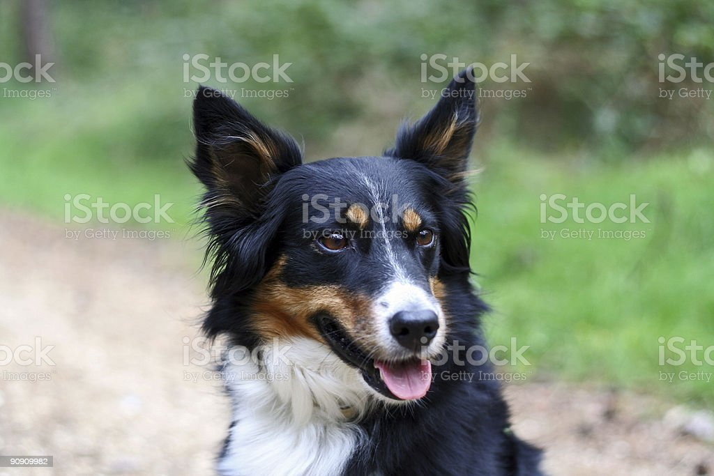 border-collie Schlampe – Foto