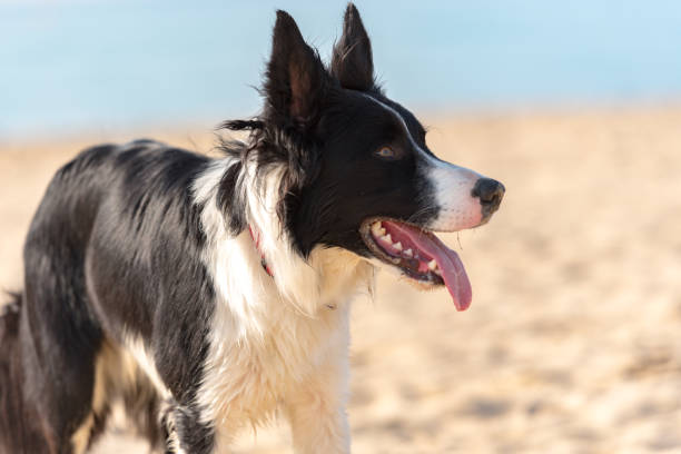Border collie black and white at the beach on the sunshine Border collie black and white at the beach on the sunshine. sheepdog stock pictures, royalty-free photos & images