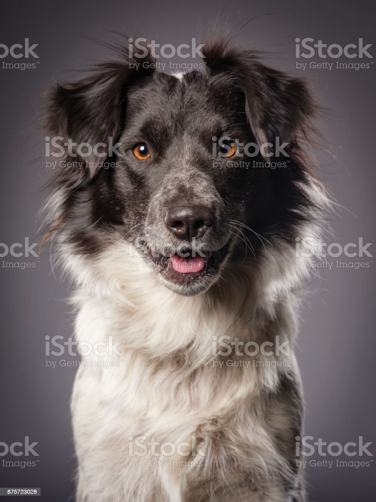 Border Collie Blue Heeler Mix Dog stock photo
