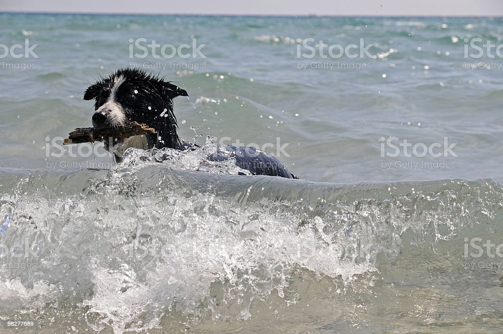 Border collie brings back a wooden piece (series) royalty-free stock photo