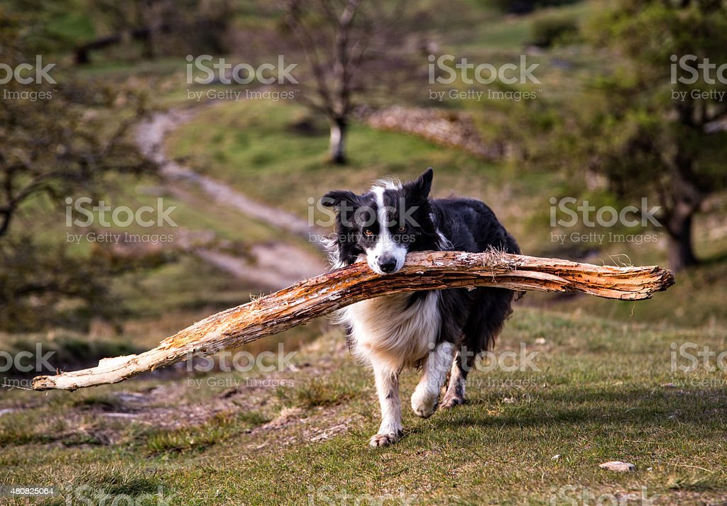 Border Collie Carrying a Large Stick stock photo