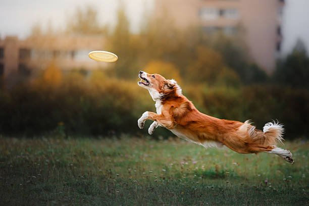 Border collie catches a flying disc picture id612730750?b=1&k=6&m=612730750&s=612x612&w=0&h=5nkijz8bawqrfus8qnzdnnhjbfg9bbkeymfjdvcdfsa=