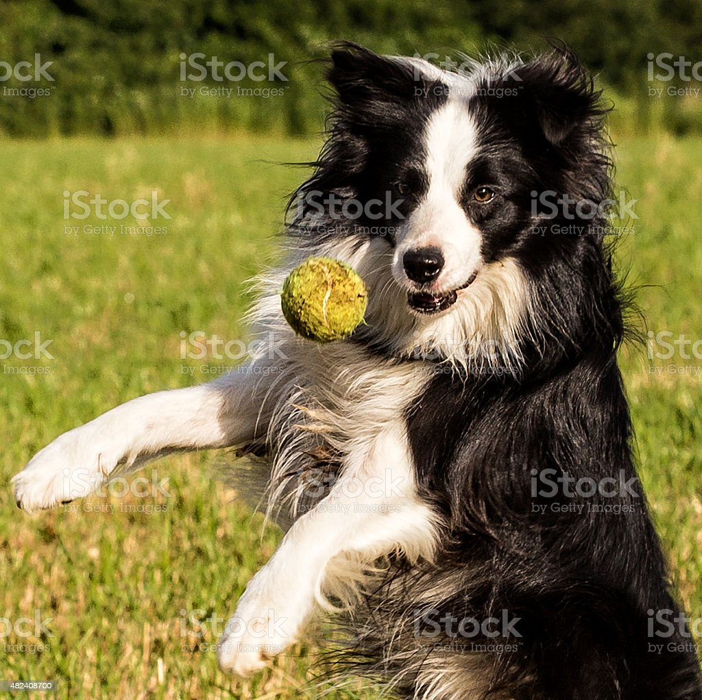 Border Collie Catching a Ball stock photo
