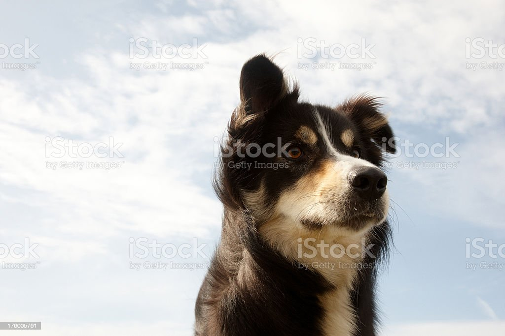 Border collie close up sky background royalty-free stock photo