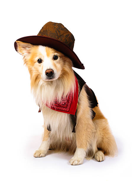 Border Collie Cowboy Dog with Cowboy costume pet clothing stock pictures, royalty-free photos & images