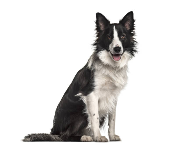 Border collie dog 18 months old sitting against white background picture id959849102?b=1&k=6&m=959849102&s=612x612&w=0&h=2h3s6rrrxmunga4ofmhppg2nigit9wzfz2fju4nvd3y=