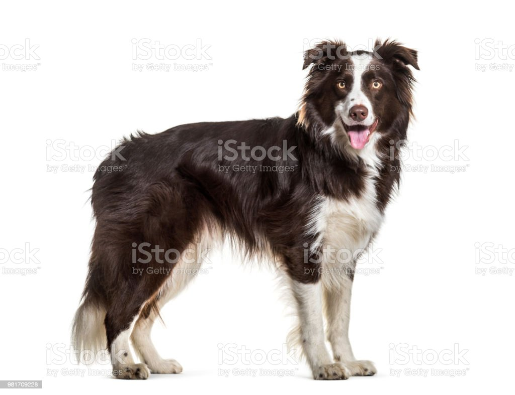 Border Collie dog, 2 years old, standing against white background stock photo