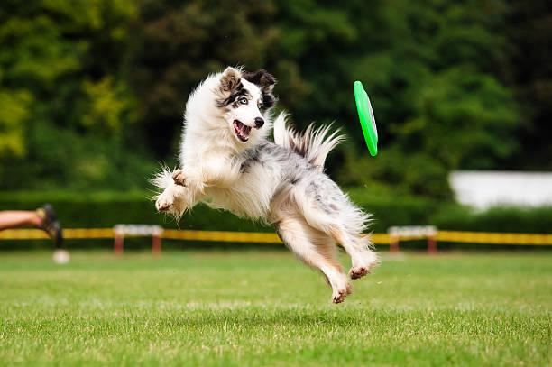 Border collie dog catching frisbee in jump picture id535192535?b=1&k=6&m=535192535&s=612x612&w=0&h=zkaxyit9xzq1och2qkqd8525hdscvv2y4foo1nvc pc=