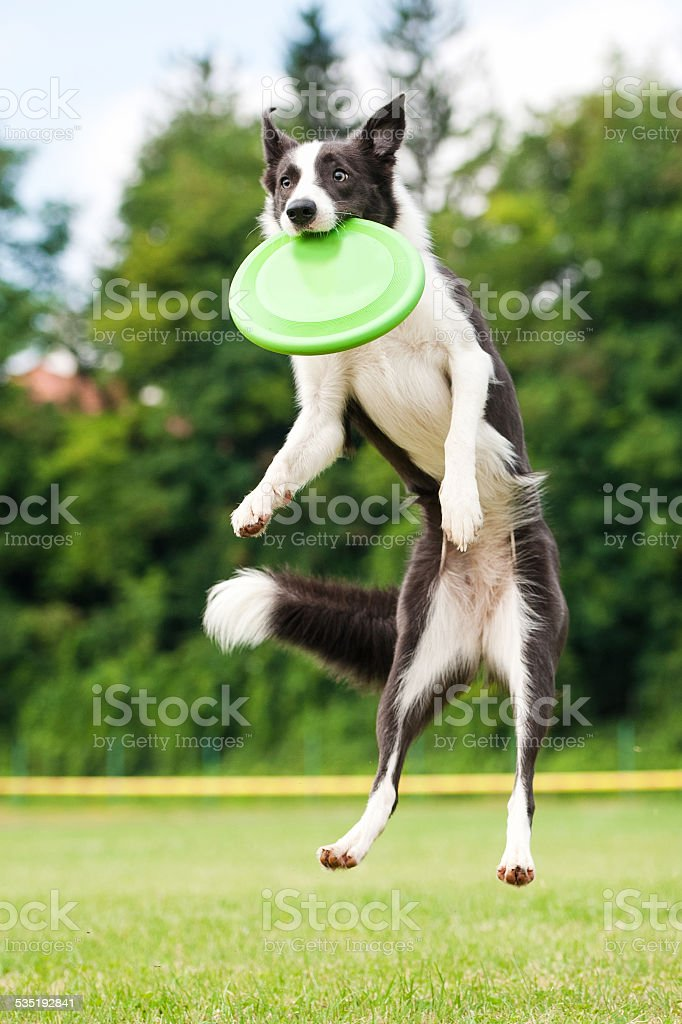 Border collie dog catching frisbee in jump stock photo