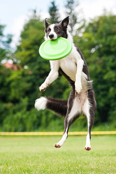 Border collie dog catching frisbee in jump Border collie dog catching frisbee in jump in summer plastic disc stock pictures, royalty-free photos & images
