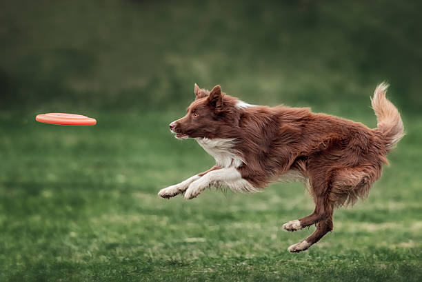 Border collie dog catching frisbee Border collie dog catching frisbee in jump in summer day plastic disc stock pictures, royalty-free photos & images