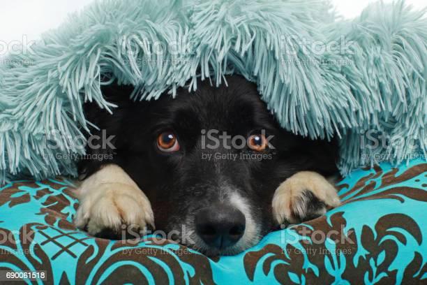 Border collie dog covered with a soft blanket picture id690061518?b=1&k=6&m=690061518&s=612x612&h=irubjjkso g7fkabbqxo1vcj q2pilrdcdq33kwyspa=
