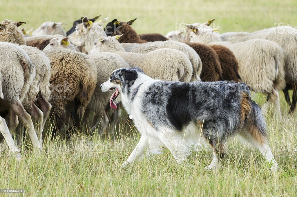 Border collie dog herding a flock of sheep stock photo