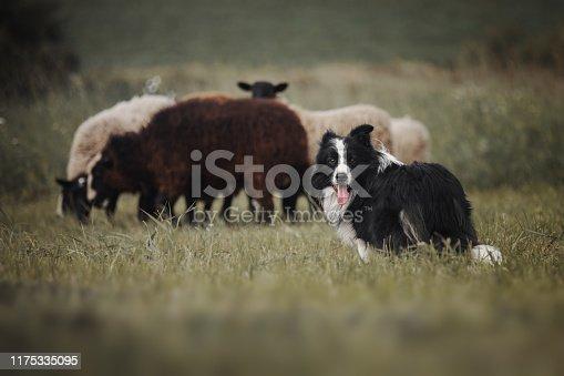 Border collie dog herds sheep
