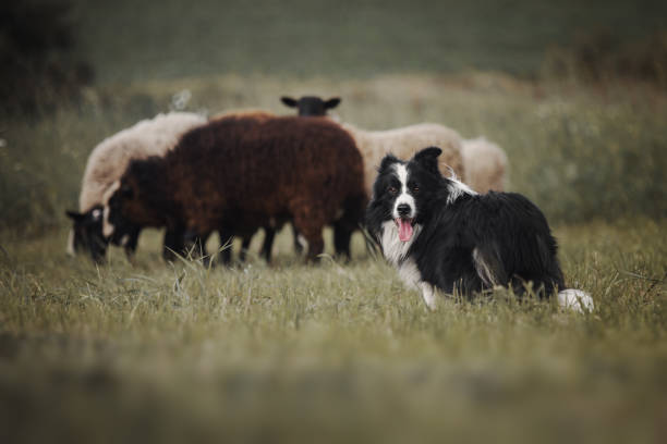 Border collie dog herds sheep Border collie dog herds sheep sheepdog stock pictures, royalty-free photos & images
