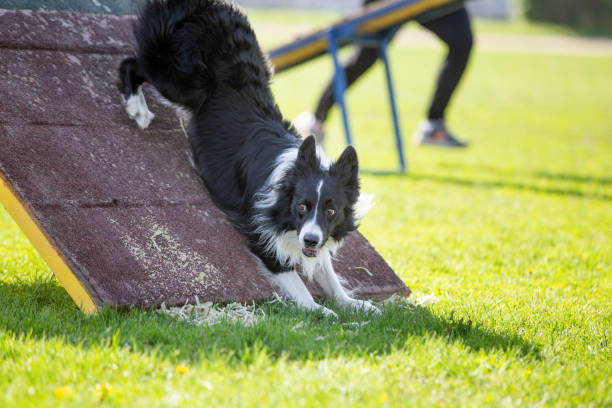 Border Collie dog in agility trial Border Collie dog in agility trial. Agility competition background with copy space sergionicr stock pictures, royalty-free photos & images