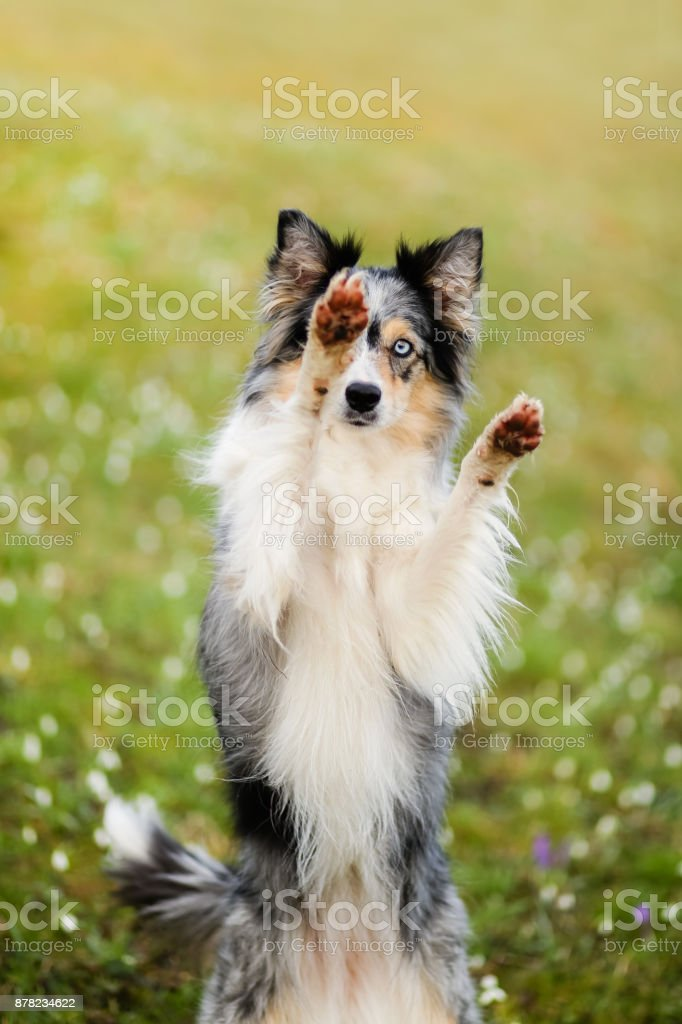 A border collie dog in snowdrop flowers stock photo