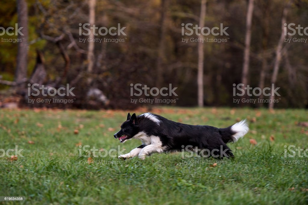 Border Collie Dog is Running on the Grass. – Foto
