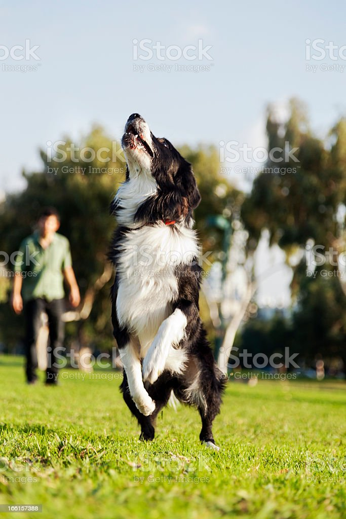 Border Collie Dog Jumping in Park royalty-free stock photo