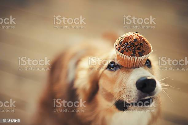 Border collie dog keeps cake on her nose picture id514342945?b=1&k=6&m=514342945&s=612x612&h=oozjnfr8ysy1miipmm8qmambutqhf997w 4p4fy6nts=