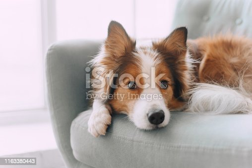 Sad border collie put his head on the sofa and looking in the camera