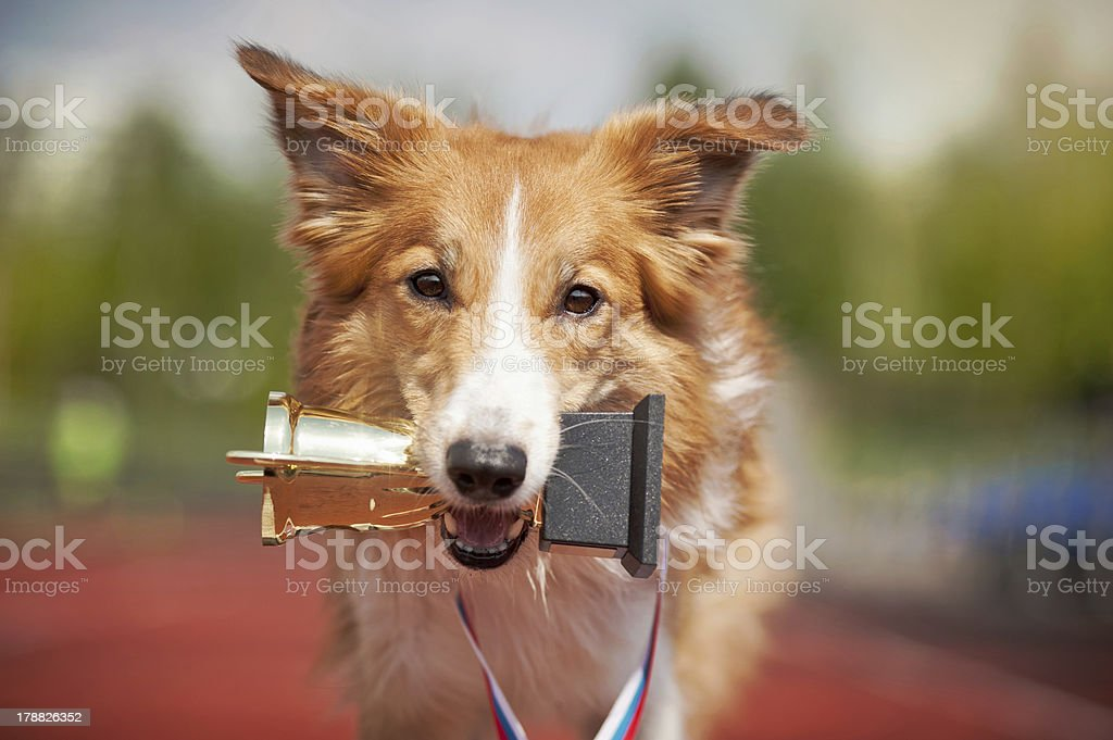 Border collie dog on a track with a trophy stock photo