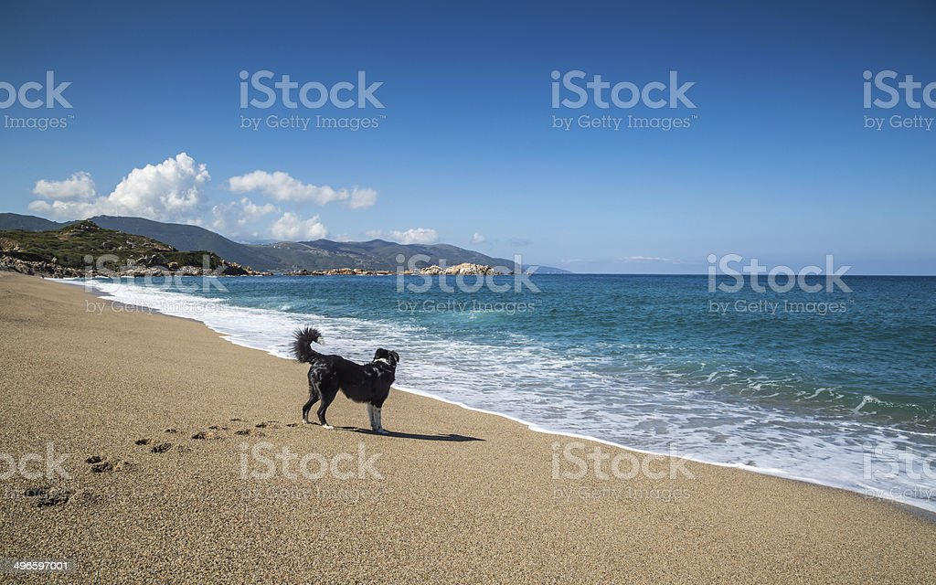 Border Collie dog on beach at Sagone in Corsica stock photo