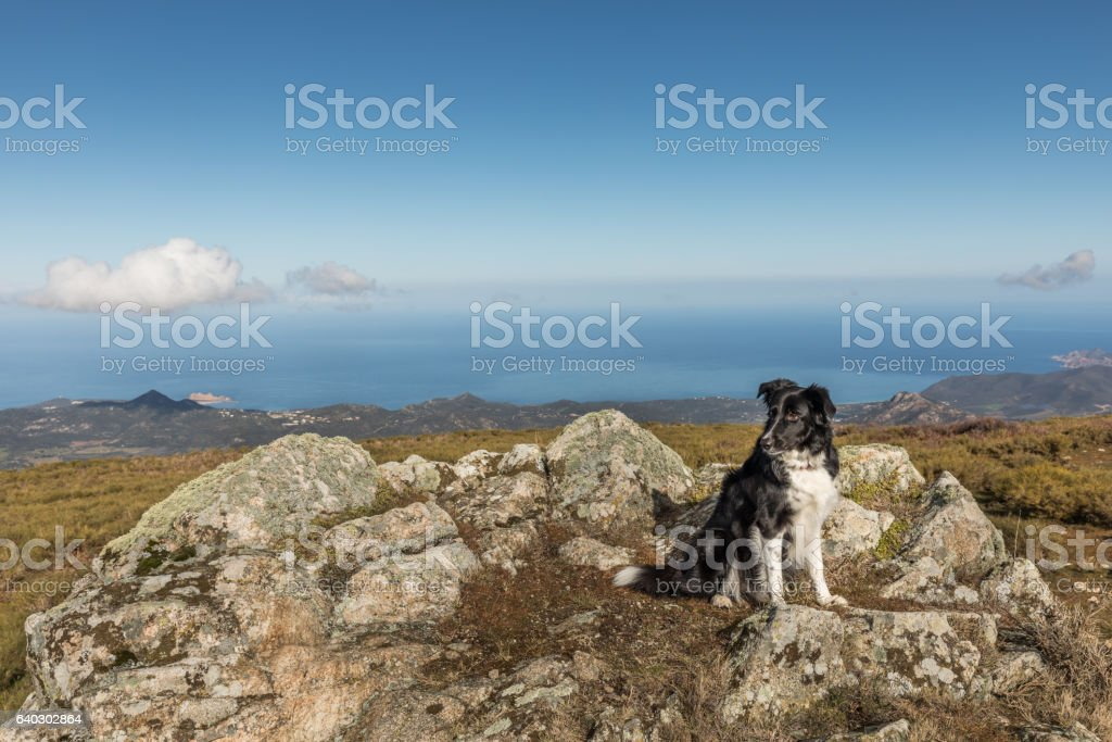Border Collie dog on rocky outcrop with Mediterranean sea behind stock photo
