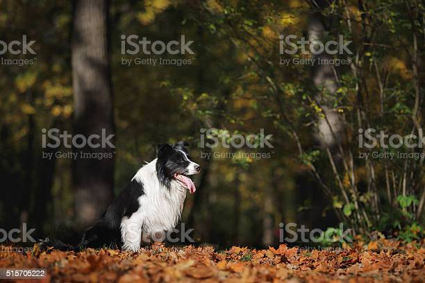 Border collie dog on the nature picture id515705222?b=1&k=6&m=515705222&s=612x612&h= ma2h6vimzbt2wm5waphqoa8xwy8vasm6vqne85wiqy=
