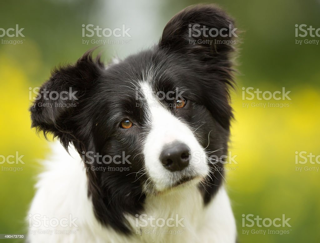 Border collie dog outdoors in nature foto