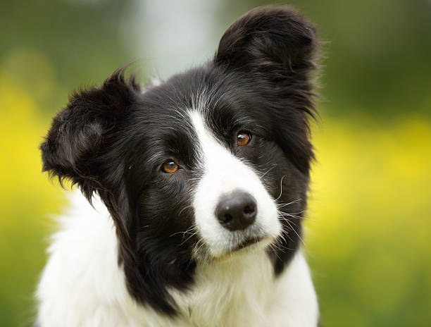 Border-collie Hund draußen in der Natur – Foto