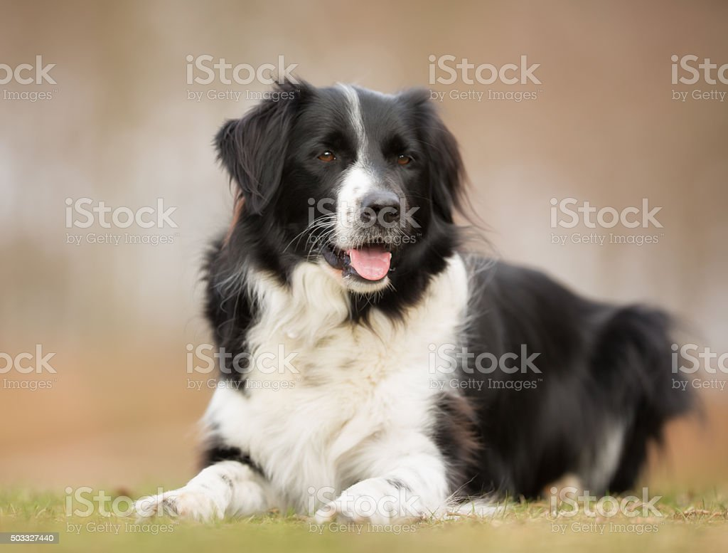 Border collie dog outdoors in nature stock photo