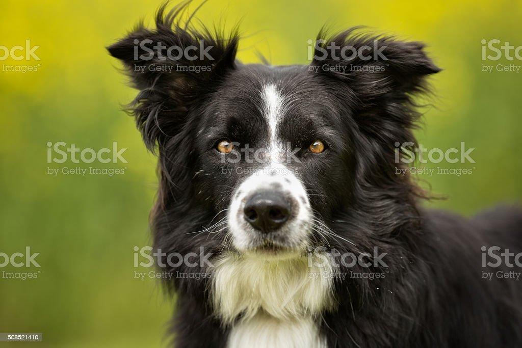 Border collie perro al aire libre en la naturaleza - foto de stock