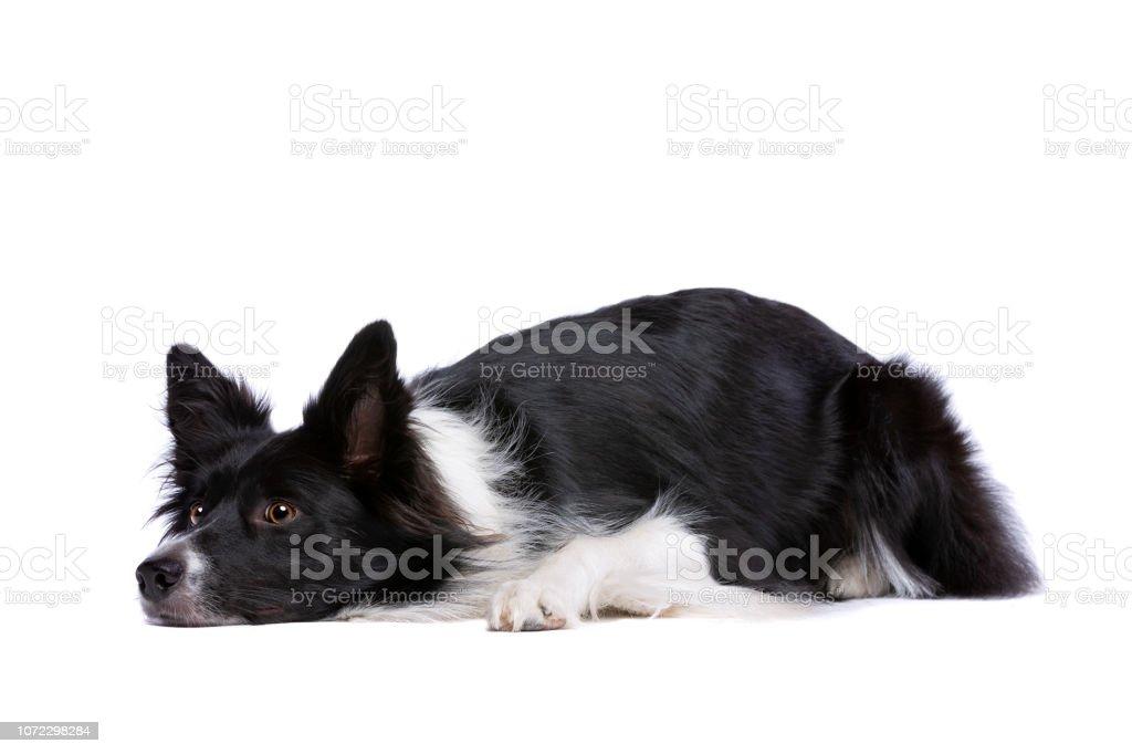 chien border collie - Photo