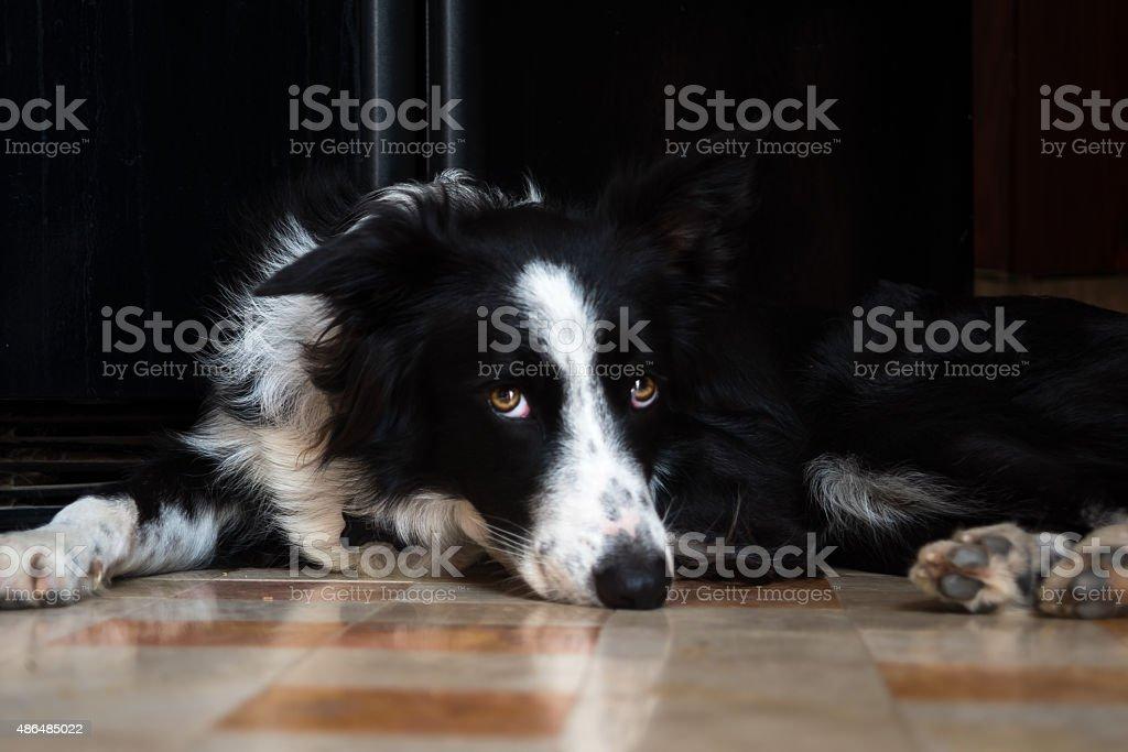 Border-collie Hund – Foto