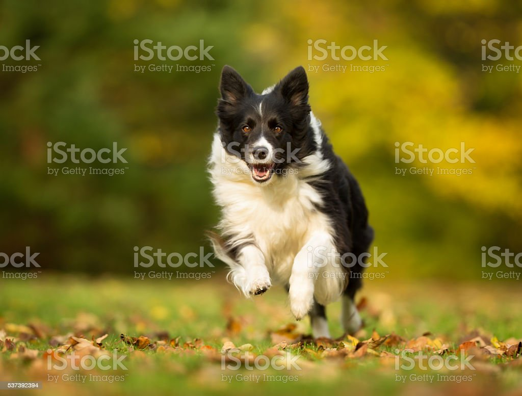 Perros Border Collie - foto de stock