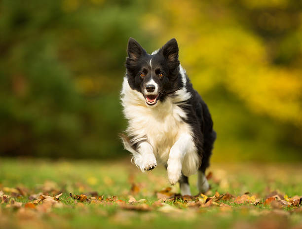 Border-Collie Hund – Foto