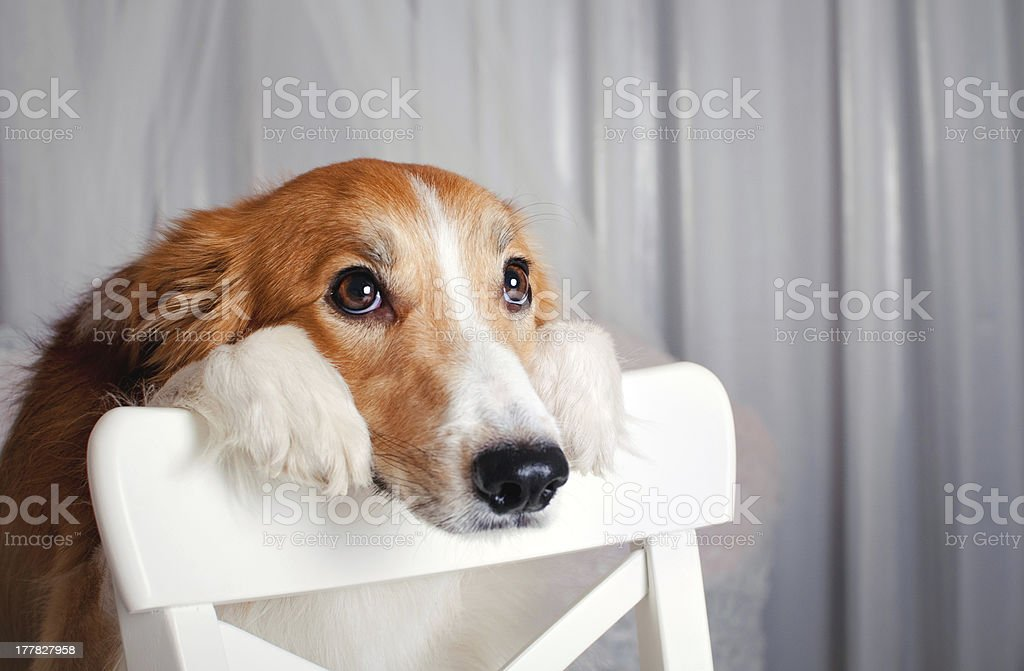 border collie dog portrait in studio royalty-free stock photo
