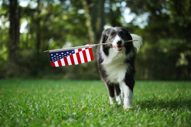 Border collie dog running outside carrying the American Flag Border collie dog running outside carrying the American Flag labor day stock pictures, royalty-free photos & images