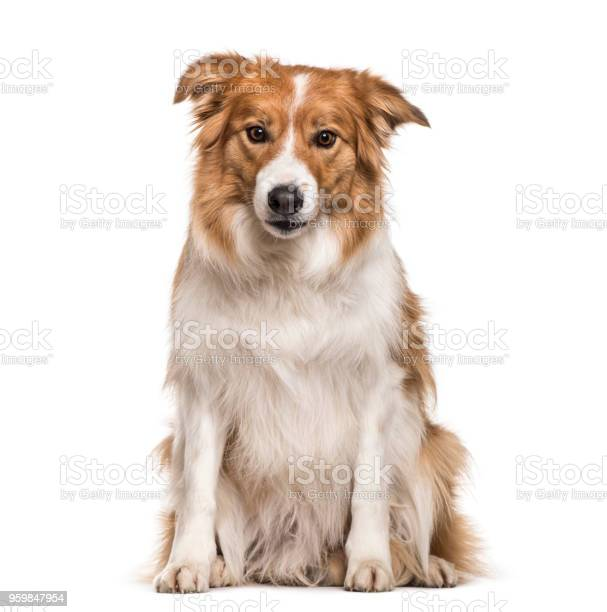 Border collie dog sitting against white background picture id959847954?b=1&k=6&m=959847954&s=612x612&h=yxoxg 4hihlylssoueyby p8qyukbmunzwnlyfimg3c=