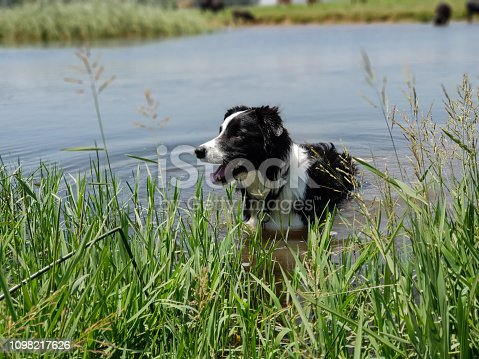 Medium shot of a Border Collie dog standing in long reeds at the edge of a calm, blue lake.