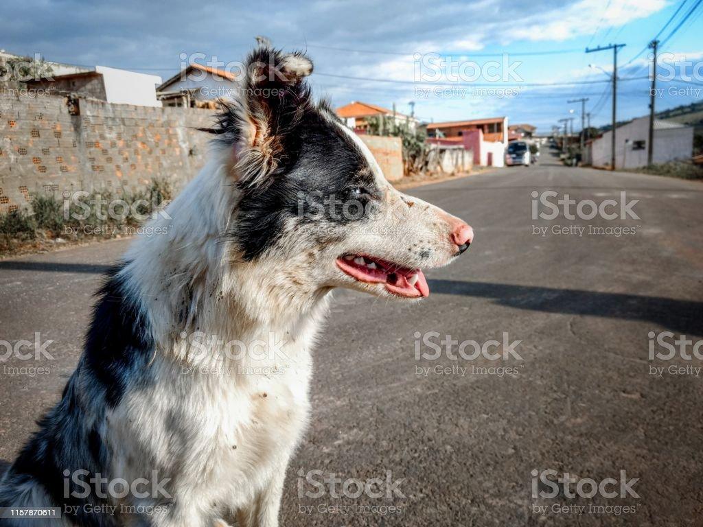 Crabot de Collie de frontière, restant sur la rue photo libre de droits
