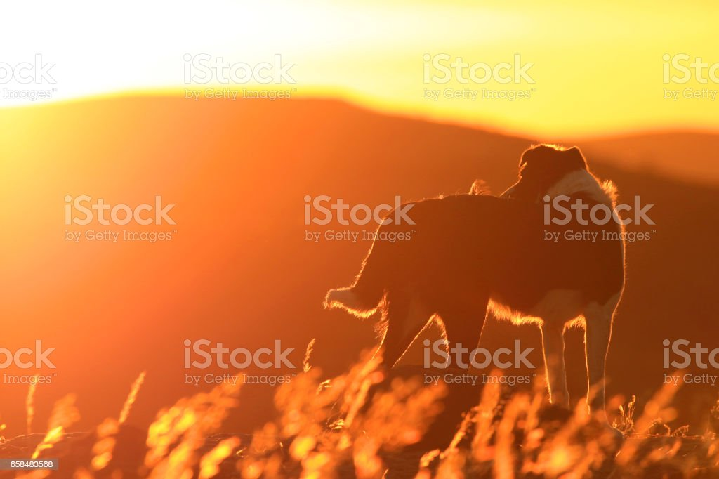Border collie dog sunset namibia grass golden animal pets landscape stock photo