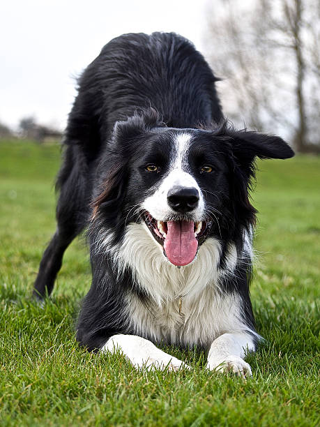 Border Collie dog waiting to play Border collie dog waiting to play crouched down on the grass australian shepherd stock pictures, royalty-free photos & images