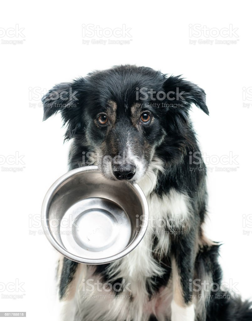 Border collie dog with empty bowl stock photo