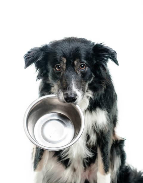 端著空碗的邊境牧羊犬 - 口渴 個照片及圖片檔