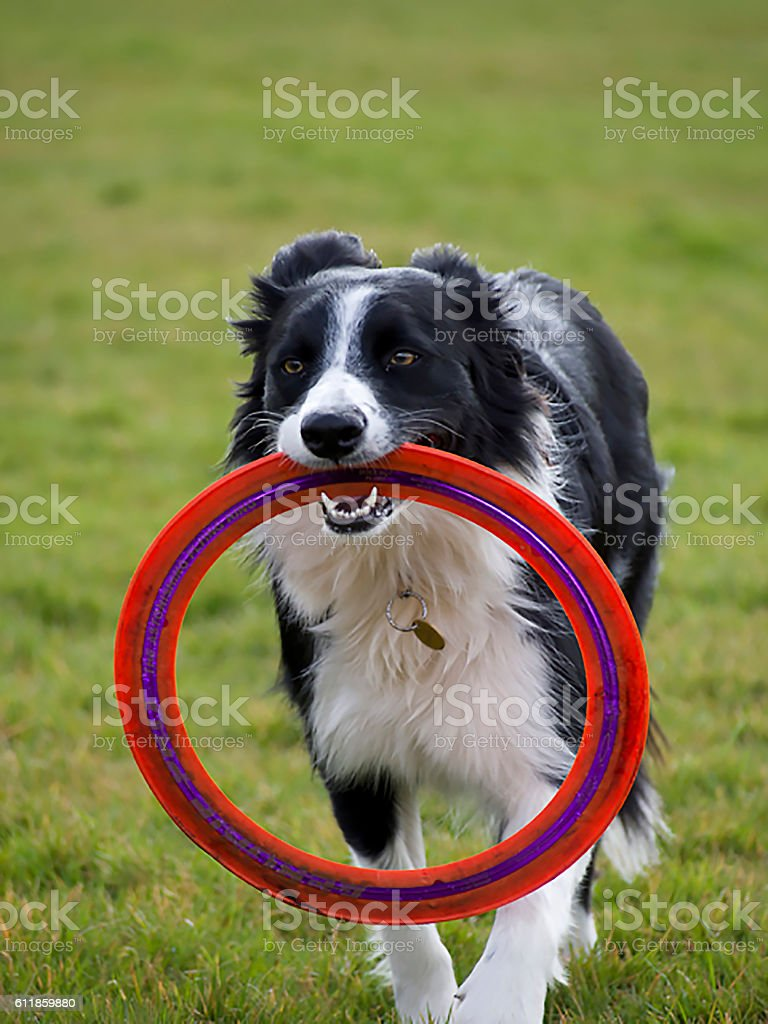 Border collie dog with red Frisbee – Foto