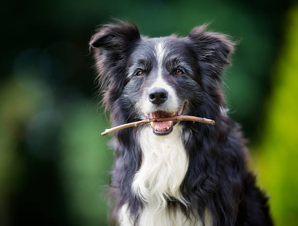 Border-collie Hund mit stick in mouth – Foto